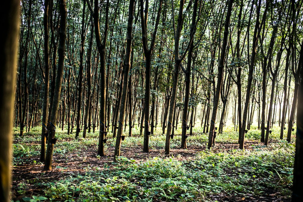 Hevea trees - Patagonia's rubber source, made in partnership with Yulex and Forest Stewardship Council (FSC) certified by the Rainforest Alliance.